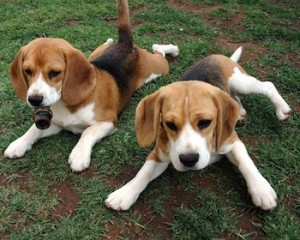 Baby Beagles, pups