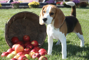 beagle pictures